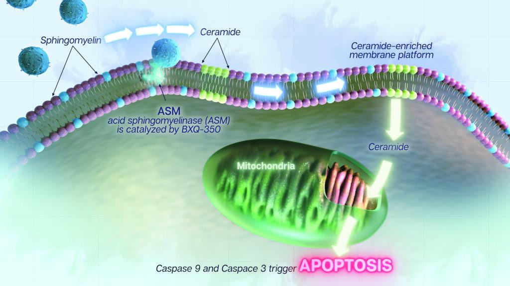 Caspase 9 and Caspase 3 trigger apoptosis